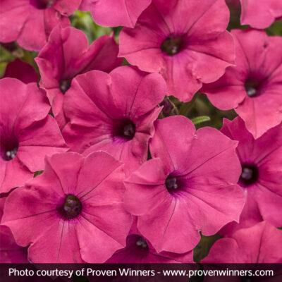 Supertunia Vista Fuchsia Petunia Garden Plant