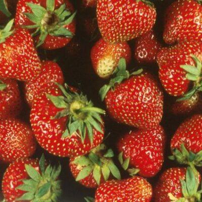 Surecrop Strawberry Garden Plant