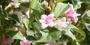 Suzanne Weigela Garden Plant
