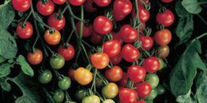Sweet 100 Cherry Tomato Garden Plant
