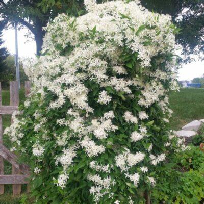 Sweet Autumn Clematis Garden Plant
