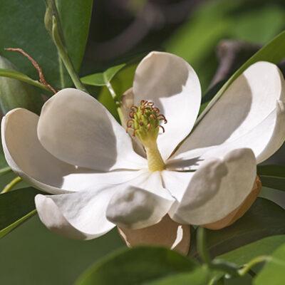 Sweet Bay Magnolia Garden Plant