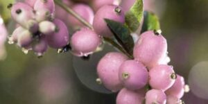 Sweet Sensation Snowberry Garden Plant