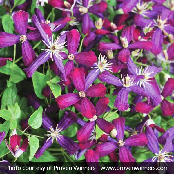 Sweet Summer Love Clematis Garden Plant