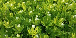 Sweet Woodruff Garden Plant
