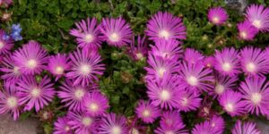 Table Mountain Ice Plant Garden Plant