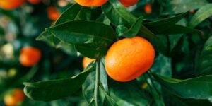 Tango Mandarin Garden Plant