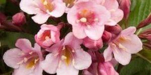 Tango Weigela Garden Plant
