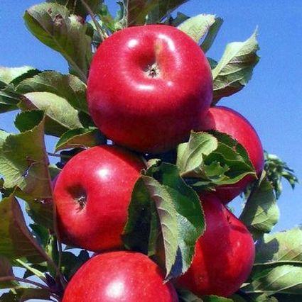 Tasty Red Urban Apple Tree Garden Plant