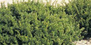 Taunton Spreading Yew Garden Plant