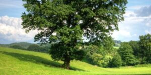 Texana Nuttall Oak Garden Plant