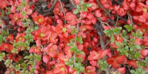 Texas Scarlet Flowering Quince Garden Plant