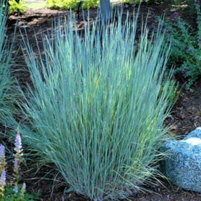 The Blues Little Bluestem Grass Garden Plant