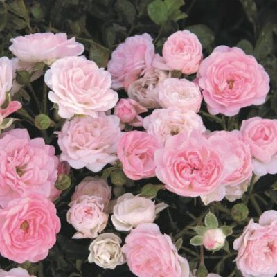 The Fairy Rose Garden Plant