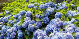 The Original Endless Summer Hydrangea Garden Plant