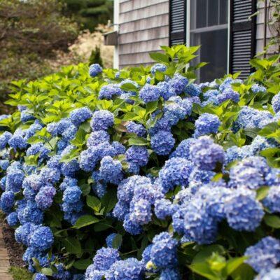 The Original Endless Summer Hydrangea Garden Plant