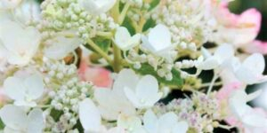 Tickled Pink Hydrangea Garden Plant