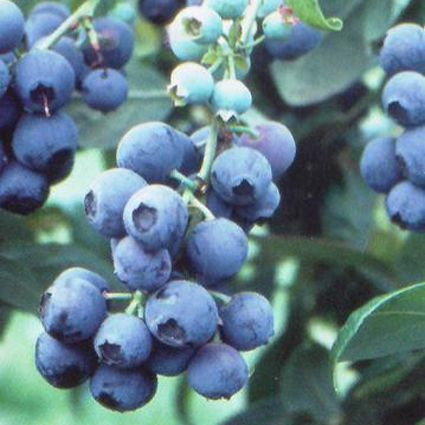Tifblue Blueberry Garden Plant