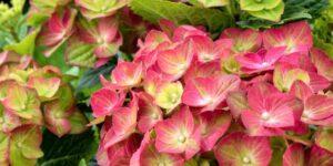 Tilt-A-Swirl Hydrangea Garden Plant