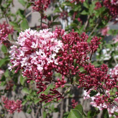 Tinkerbelle Lilac Garden Plant