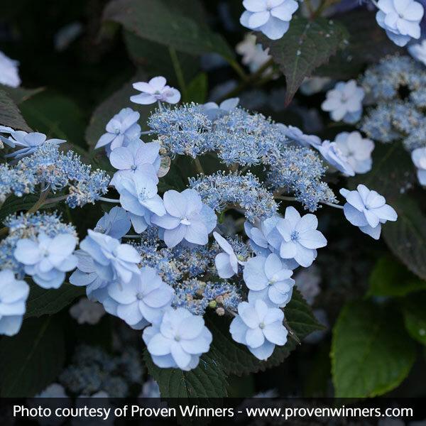 Tiny Tuff Stuff Hydrangea Garden Plant