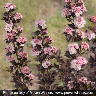 Tiny Wine Ninebark Garden Plant