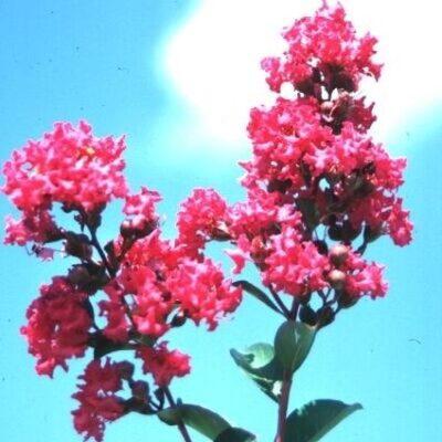 Tonto Crape Myrtle Garden Plant