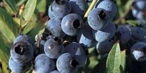 Top Hat Blueberry Garden Plant