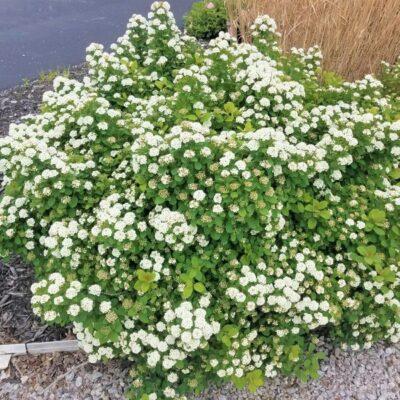 Tor Spirea Garden Plant