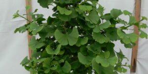 Troll Ginkgo Tree Garden Plant