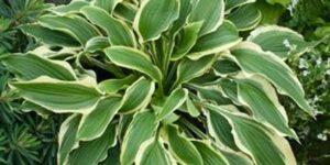 Tropical Dancer Hosta Garden Plant