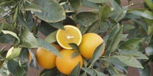 Trovita Orange Tree Garden Plant