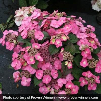 Tuff Stuff Reblooming Mountain Hydrangea Garden Plant