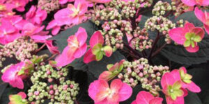 Tuff Stuff Red Mountain Hydrangea Garden Plant