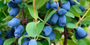 Tundra Honeyberry Garden Plant