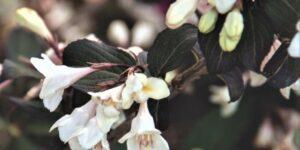 Tuxedo Weigela Garden Plant