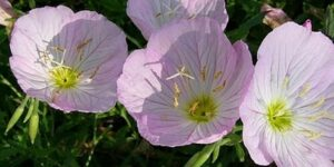 Twilight Evening Primrose Garden Plant