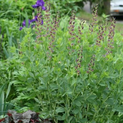 Twilite Prairieblues False Indigo Garden Plant