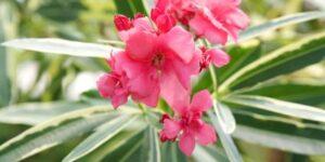 Twist Of Pink Oleander Garden Plant