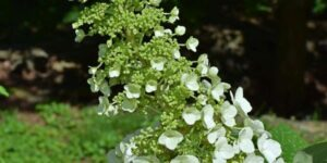 Unique PeeGee Hydrangea Garden Plant