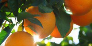 Valencia Orange Garden Plant