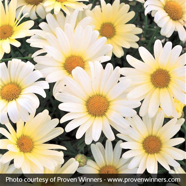 Vanilla Butterfly Daisy Garden Plant