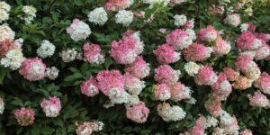 Vanilla Strawberry Hydrangea Garden Plant