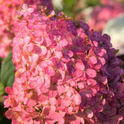Vanilla Strawberry Hydrangea Tree Form Garden Plant