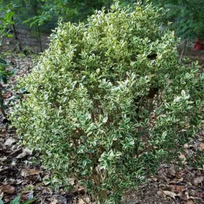 Variegated Boxwood Garden Plant