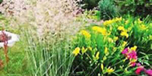 Variegated Feather Reed Grass Garden Plant