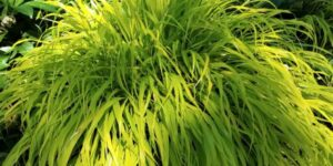 Variegated Japanese Forest Grass Garden Plant