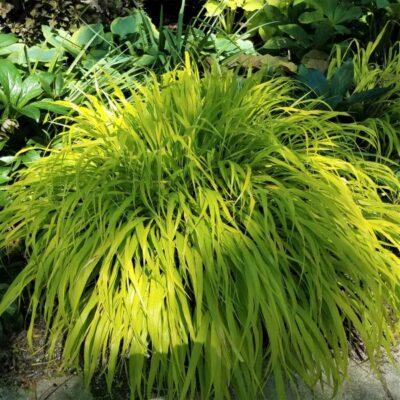 Variegated Japanese Forest Grass Garden Plant