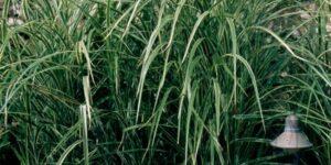 Variegated Japanese Silver Grass Garden Plant