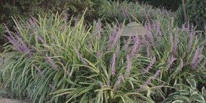 Variegated Liriope Garden Plant